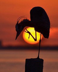 Heron at Sunset (M. Fitzsimmons) Tags: sunset orange sun bird nature birds silhouette yellow sunrise outdoors michael fly flying wings unitedstates natural florida wildlife flight wing feathers feather fl destin avian gulfcoast fitzsimmons mfitz michaelfitzsimmons michaelfitz birdstnc11 photocontesttnc12 dailynaturetnc12