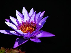 im Wasser ( the-best-is-yet-to-come ) Tags: waterlily seerose margaretrandig directortgeorgeaustralischeseerose