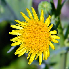 Common Sowthistle (Sonchus oleraceus) (bob in swamp) Tags: nikon florida coolpix sonchusoleraceus wildflowers asteraceae sonchus palmbeachcounty commonsowthistle annualsowthistle junodunesnaturalarea