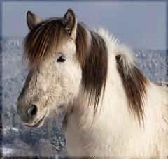 Icelandic horse (TheSokkeSnok) Tags: horse white grey pony dun icelandic jarl winterfur