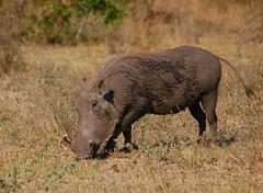 Javali / Warthog (anacm.silva) Tags: africa wild nature southafrica mammal wildlife natureza krugernationalpark krugerpark warthog kruger mamfero frica javali fricadosul