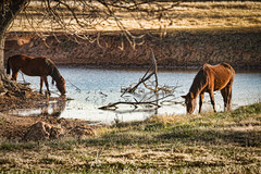 Time for a Drink! (Todd Ryburn) Tags: horses oklahoma nature pond wildlife ok 2010 horsedrinking canon1dmarkiv pairofhorses canon70200f28markii