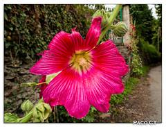 Florituras franco pirenicas (Paco CT) Tags: france flor fra vegetal 2012 hautegaronne melles pacoct
