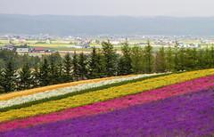 Furano's Field of Dreams (arcreyes [-ratamahatta-]) Tags: flowers trees summer japan colorful hokkaido day cloudy hill lavender  fields    slope furano  nakafurano  farmtomita  hokkaidoprefecture sorachidistrict