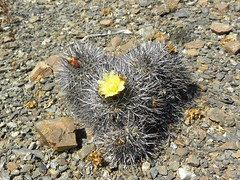DSCN9568 (Robby's Sukkulentenseite) Tags: chile cactus cacti atacama humilis reise kaktus kakteen standort copiapoa megarhiza echinata pajonal ka4329s rb2129