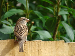 Sparrow On The Fence (GarethThomasJones) Tags: bird birds animals canon fence sony sparrow 10xzoom garethjones sonydsch10 garethtomasjones
