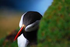 Strizza L'occhio (Wrinzo) Tags: uk summer scotland estate puffin seabirds unst scozia fratercula pulcinelladimare auks shetlandislands hermaness alcids uccellimarini hermanessnaturalreserve isoleshetland