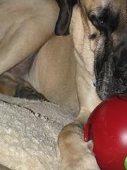 Maybe I do have a thumb... (glaukos) Tags: dog toy englishmastiff mastiff dogtoy