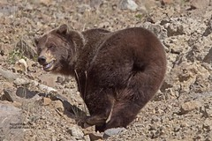 Grizzly Bear_MG_0249 (bud_marschner) Tags: bear brown grizzly alaksa deanli