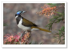 Blue-faced Honeyeater-1898 (Barbara J H) Tags: australia qld bluefacedhoneyeater honeyeater australianwildlife australiannativebird imbil birdsofaustralia barbarajh maryvalley yabbasprings