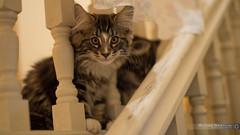 Chats Marie-Hlne 7.jpg (Gentcsar) Tags: de chat un amour norvge skogkatt