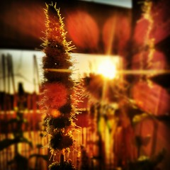 late summer sun (deep_schismic) Tags: sunset summer flower nature mobile germany munich mnchen square bayern deutschland bavaria sonnenuntergang sommer mint blumen squareformat blume sonne hefe hdr android minze pflane sonnentanz prohdr androidography instagram instagramapp uploaded:by=instagram samsunggalaxys2 samsunggalaxysii prohdrcamera foursquare:venue=4f82dbfee4b009278138bad9