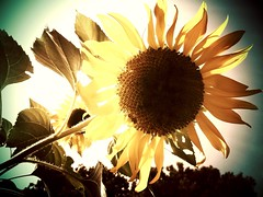 Sunflower as the sun goes down (peachy92) Tags: flowers atlanta plants plant flower georgia sunflowers sunflower cobb atlantaga atlantageorgia iphone cobbcounty soemo myapartmentcomplex cobbcountygeorgia cobbcountyga iphonegraphy iphoneography cameraplus swankolab vinnysbl04 flamozfixer grizzlefix vinnysbl94 iphone4s