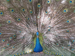 peacock malaysia kualalumpur peafowl tropicalbirds klbirdpark kualalumpurbirdpark peacockdisplay walkinaviary tamanburung kllakegardens worldslargestcoveredaviary peacocktailfeathersdisplay peacockcourtshipritual