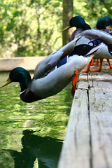 Forward © (Blackcatatheart) Tags: summer pet pets color detail male green bird texture nature water outside outdoors frozen duck pond natural action outdoor ripple feather off stop gravity push mallard ripples splash habitat plank planks mallards feathered stopaction momment