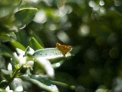 Potanthus flavus (Polotaro) Tags: nature pen butterfly bug insect olympus  zuiko ep1       gzuiko50mmf14