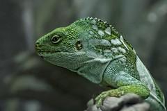 the green dragon (Pejasar) Tags: green lizard reptile tulsa zoo oklahoma scales handsome