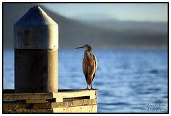 Good morning!!! (juliewilliams11) Tags: heron bird outdoor photoborder jetty waterfront morning newsouthwales australia water shore