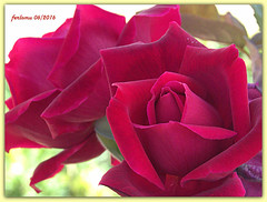 Toro (Zamora) 18 Rosa roja.CR2 (ferlomu) Tags: flor rosa toro zamora ferlomu