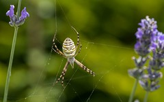 spider (04) (Vlado Fereni) Tags: macro macrocloseup closeup closeupmacro spider zagorje croatia hrvatska hrvatskozagorje nikond600 tamron9028macro