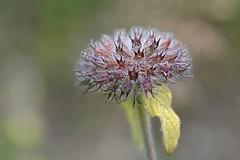 Tauben Grindkraut (DianaFE) Tags: dianafe blte pflanze blume wildkraut wiesenblume makro tiefenschrfe schrfentiefe
