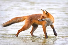 Red Fox in Water 56819 (wildlifetog) Tags: ramsarsite red renard renardroux roux fox zorro herseynaturereserve southeast seaview sssi isleofwight uk mbiow martin blackmore nature wild wildlifeeurope wildlife water canon eos7dmkii european