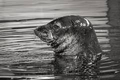 Just Keep Swimming_kdoyle (kelbo60) Tags: minnesotazoo monkseal zoo bw blackandwhite hawaiianmonkseal