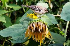 szotyolz erdei pinty / lunch for chaffinch (debreczeniemoke) Tags: nyr summer kert garden madr bird erdeipinty chaffinch pinsondesarbres buchfink fringuello cintez fringillacoelebs pintyflk fringillidae napraforg sunflower olympusem5