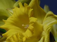 Daffodil (teressa92) Tags: yellow flower spring agift teressa92 nature petals stamen stigma pollen soft