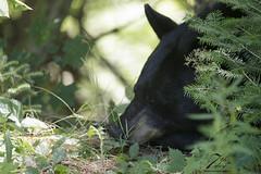 Trust (Seventh day photography.ca) Tags: blackbear bear animal wildanimal wildlife predator mammal ontario canada summer woods forest