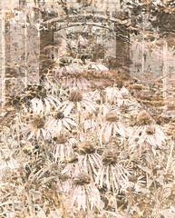 """Pavillion Coneflowers II"" (dijkase) Tags: flowers garden huntsvillebotanicalgarden al composite pavillion landscape architectural showkasephotography neutral"