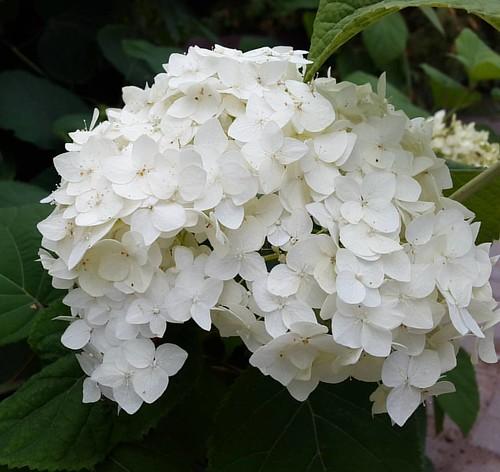 #hydrangea #flower #village #angelseraphina