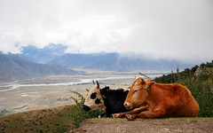 Enjoying the great view (claying) Tags: olympus em5 panasonic lumixgxvario1235mmf28asphpowerois china tibet   cow dzo kora ganden monastery dagz