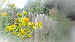 Fenced poetry ... (babs van beieren) Tags: dandelion yellow fence fencedfriday dof 7dwf 7dwffloralfriday