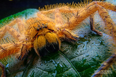 Huntsman spider (Heteropoda davidbowie) - DSC05532 (nickybay) Tags: singapore macro nangka trail riflerangeroad sparassidae heteropoda davidbowie huntsman spider wideangle