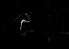 Pine Marten Martes martes (Iain Leach) Tags: birdphotography wildlifephotography photograph image wildlife nature iainhleach wwwiainleachphotographycom canon canoncameras photography canon1dx canon5dmk3 beauty beautiful beautyinnature macro macrophotography closeup pinemarten martesmartes
