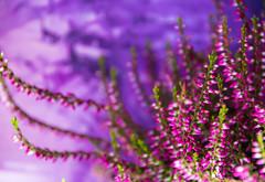 Purple (Maria Eklind) Tags: växt färg plant color ljung lila purple malmö skånelän sverige se