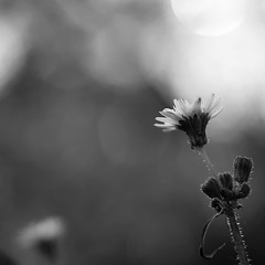 wildflowers (SS) Tags: ss pentax k5 smcpentaxm50mmf17 marche prickly flower plant bokeh spring 2016 blackandwhite monochrome outdoor depthoffield smooth blur bn fiore luce bianco nero light fabriano pentaxart