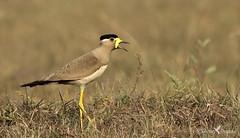 Yellow Wattled Lapwing (arunprasad.shots) Tags: lapwing yellowwattledlapwing chennai waterbird sholinganallur indianbirds birdsofindia nikond500 nikon200500