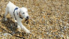 Charlie 16.5 weeks (Mark Rainbird) Tags: bartononsea canon charlie dog powershots100 puppy retriever uk england unitedkingdom
