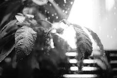 Day 257/366 : Rains all day (hidesax) Tags: 257366 rainsallday avocado leaves rain raindrops sun light window fence home ageo saitama japan bw hidesax sony a7ii voigtlander 58mm f14 366project2016 366project 365project