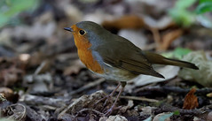 Redbreast in a forest (Franck Zumella) Tags: redbreast forest robin red dark high iso rouge gorge bird