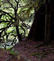 Cedars (kewing) Tags: northcascadesnp skagitriver