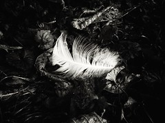 Silent witness (J.C. Moyer) Tags: forestfloor forest woods leaves fallenleaves feather blackandwhite