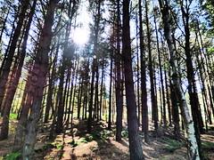 Light through the trees (davidntaylor1968) Tags: forest treetrunk woodland lowangleview sunlight nature growth tree tallhigh beautyinnature tranquility sun abundance scenics day nonurbanscene tranquilscene outdoors tall bright showcaseseptember photography locallandmark