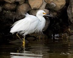 Snowy Egret (DeniseDewirePhotography) Tags: gardenstreet missioncreek santabarbara beach snowegret feathers fluffy reflection rocks feeding water