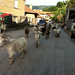 Goats parading down the town center of Filipovo