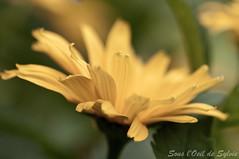 Chez Bleu Lavande (Sous l'Oeil de Sylvie) Tags: flowers summer macro fleurs pentax lavender july t lavande juillet stanstead 2012 estrie lightroom tamron90mm k7 bleulavande fitchbay sousloeildesylvie