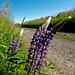 Trailside Lupines