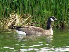 Possible Cackling Goose (zxgirl) Tags: bird birds animal animals alaska geese ak aves goose anchorage waterfowl animalia 2012 westchesterlagoon anseriformes chordata img1600 alaska2012